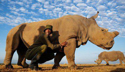 rinoceronte blanco del norte