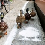Carriles para patos en Londres