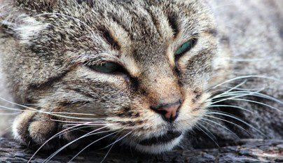 alimentos felicidad gatos