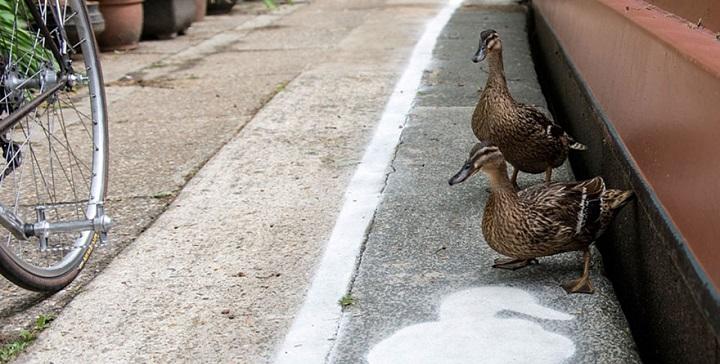 carriles patos1