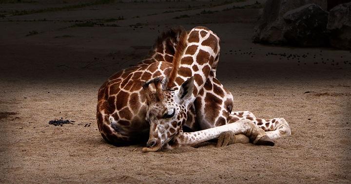 jirafas durmiendo fotos