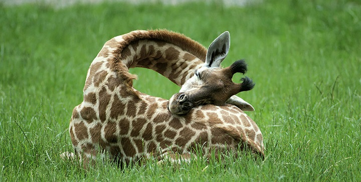 jirafas durmiendo fotos1