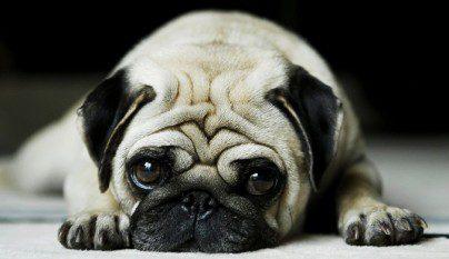repsiracion perros chatos