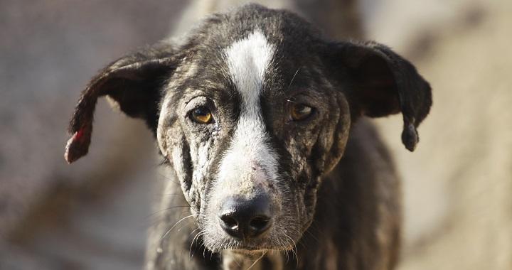 detectar perro maltratado