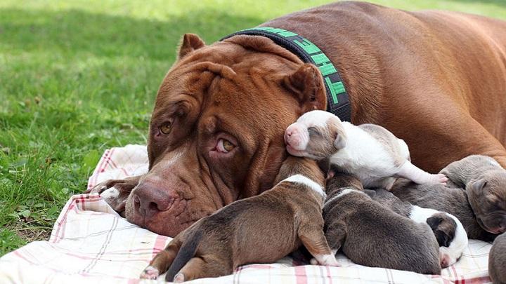 Pitbull Hulk y cachorros