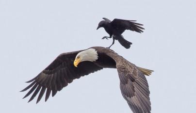 aguila cuervo1
