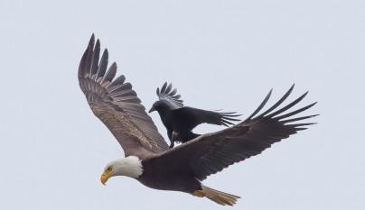 aguila cuervo2