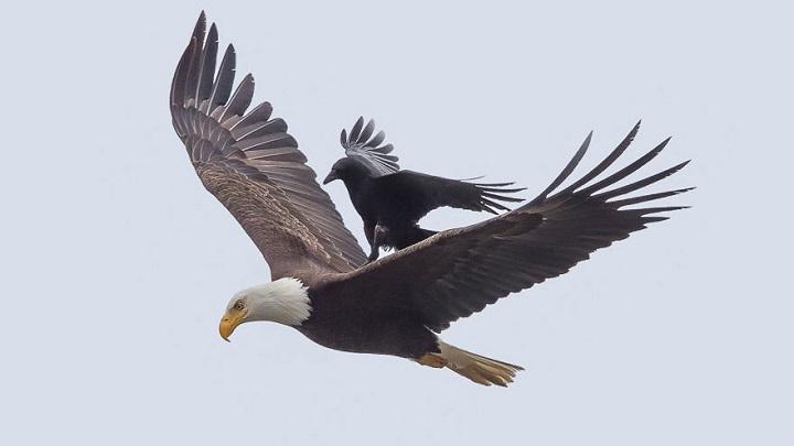 cuervo aguila1