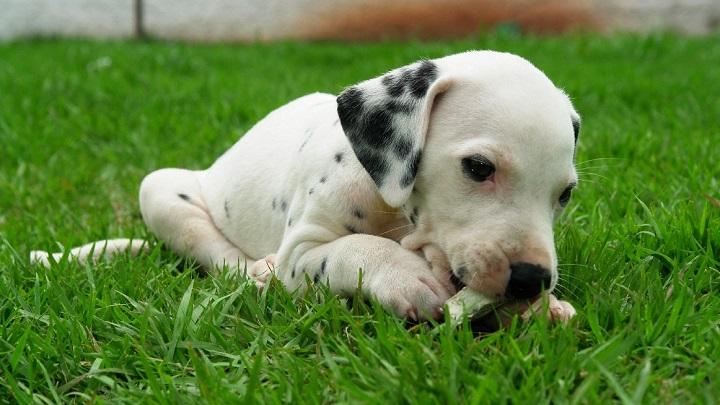 manchas perros