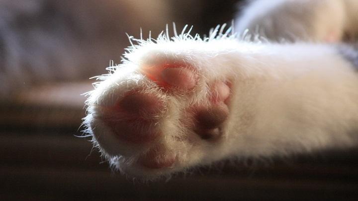 pata de gato lesiones1