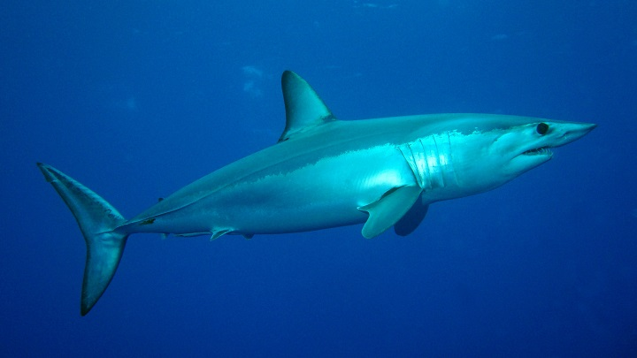 Tiburon mako