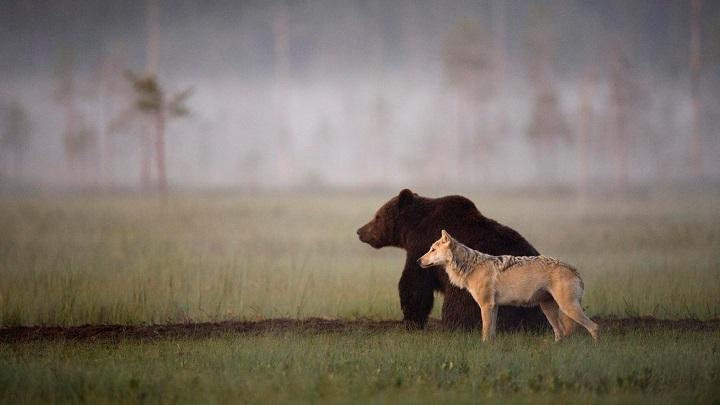 oso lobo foto