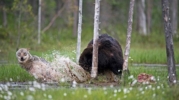 oso lobo foto1