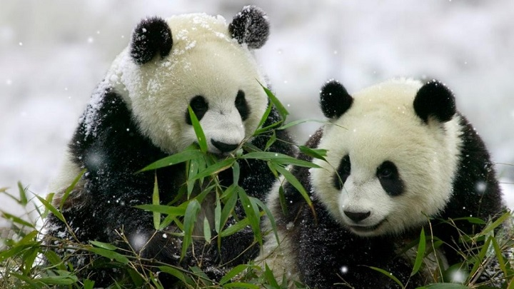 osos panda curiosidades