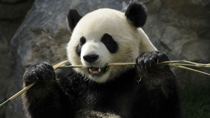 osos panda curiosidades1