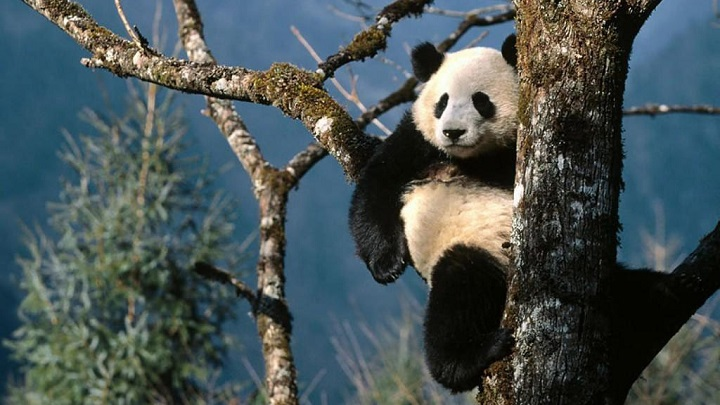 osos panda curiosidades2