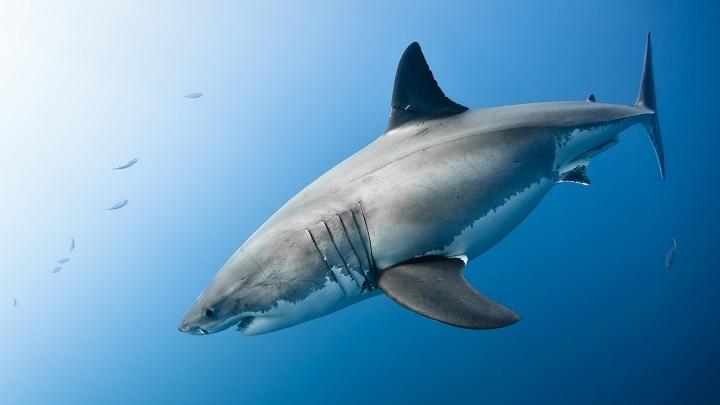 tiburon blanco foca