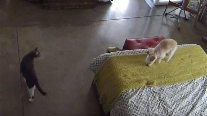 gato desafiante