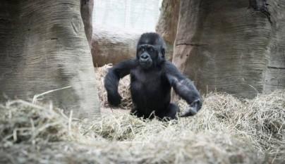 gorila nino