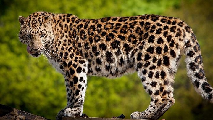 El juego de las palabras encadenadas-https://animalmascota.com/wp-content/2015/09/leopardo.jpg