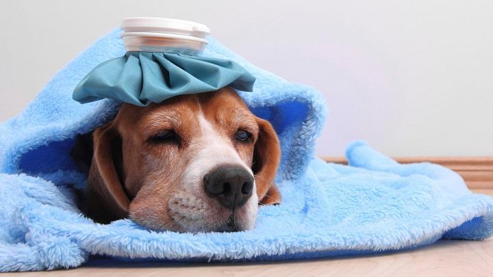 perro resfriado sintomas
