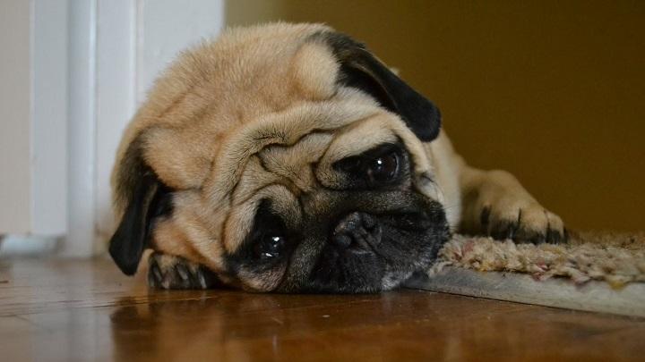 perro resfriado sintomas1