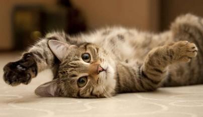gato asma