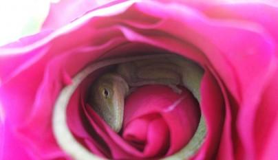 lagarto rosa2