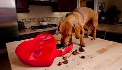 perros chocolate