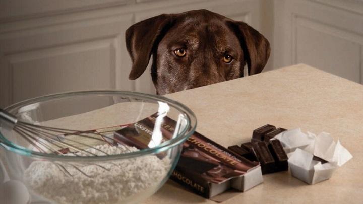 perros chocolate1
