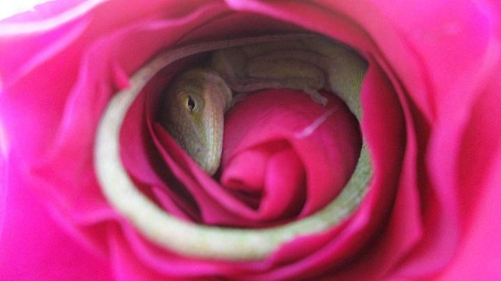 rosa lagarto1