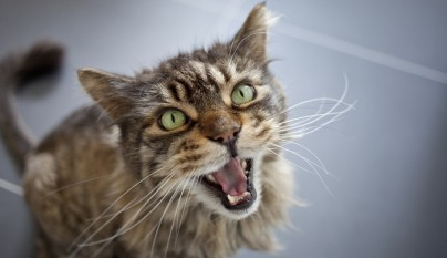 gato estres