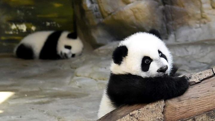 oso panda primeros pasos