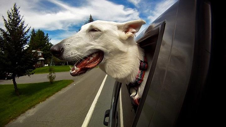 perro ventanilla