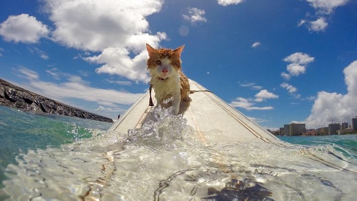 gato surf1