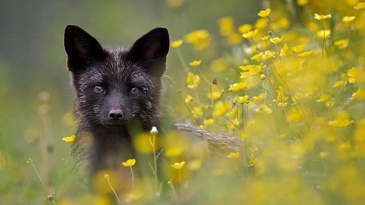 zorros negros foto