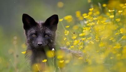 zorros negros1