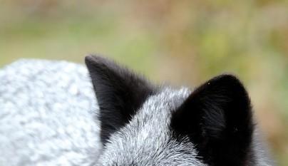 zorros negros10