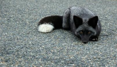 zorros negros15