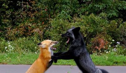 zorros negros17
