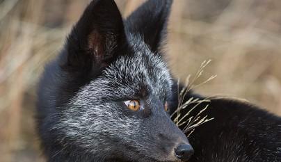 zorros negros18