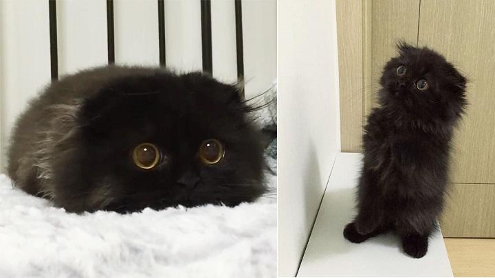 Gato Gimo
