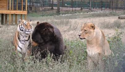 amistad oso tigre leon
