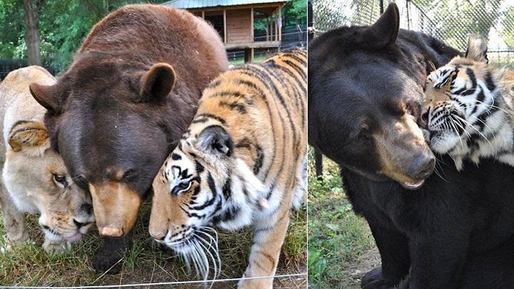 amistad oso tigre leon1
