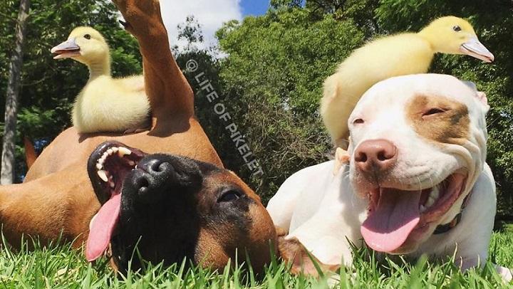 amistad patos perros foto