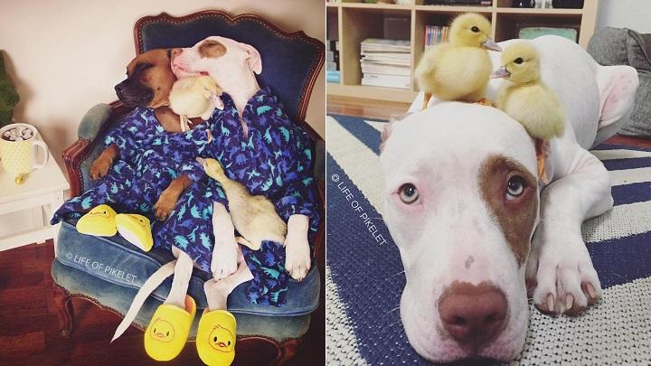 amistad patos perros foto1