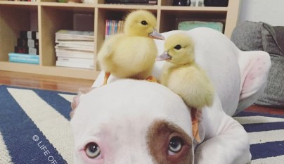 amistad patos perros12