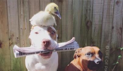 amistad patos perros13