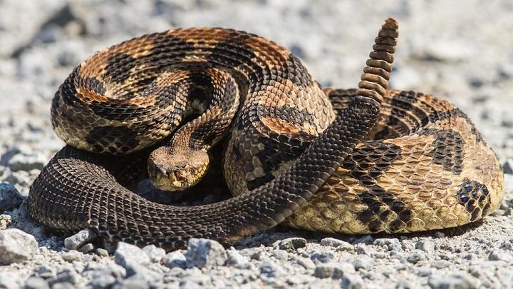 cola serpiente cascabel