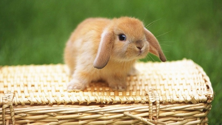 conejo ventaja e inconveniente